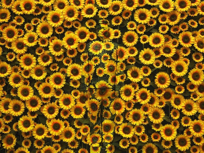 Liu Bolin, Hiding in the City - Sunflower, 2012